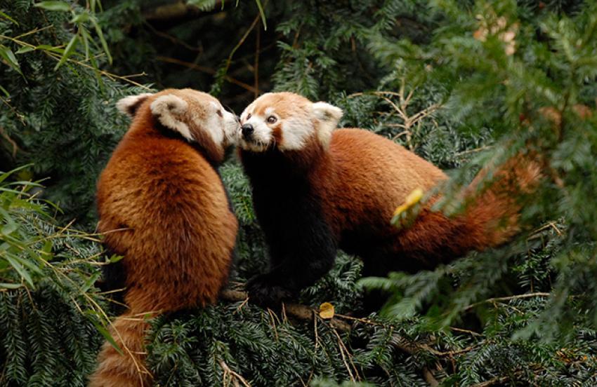 Pandy czerwone.  Foto: www.nasze-zoo.pl
