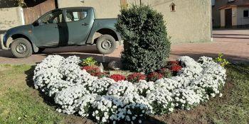 Gminę Zgorzelec przyozdobiły kolorowe chryzantemy - zdjęcie nr 11