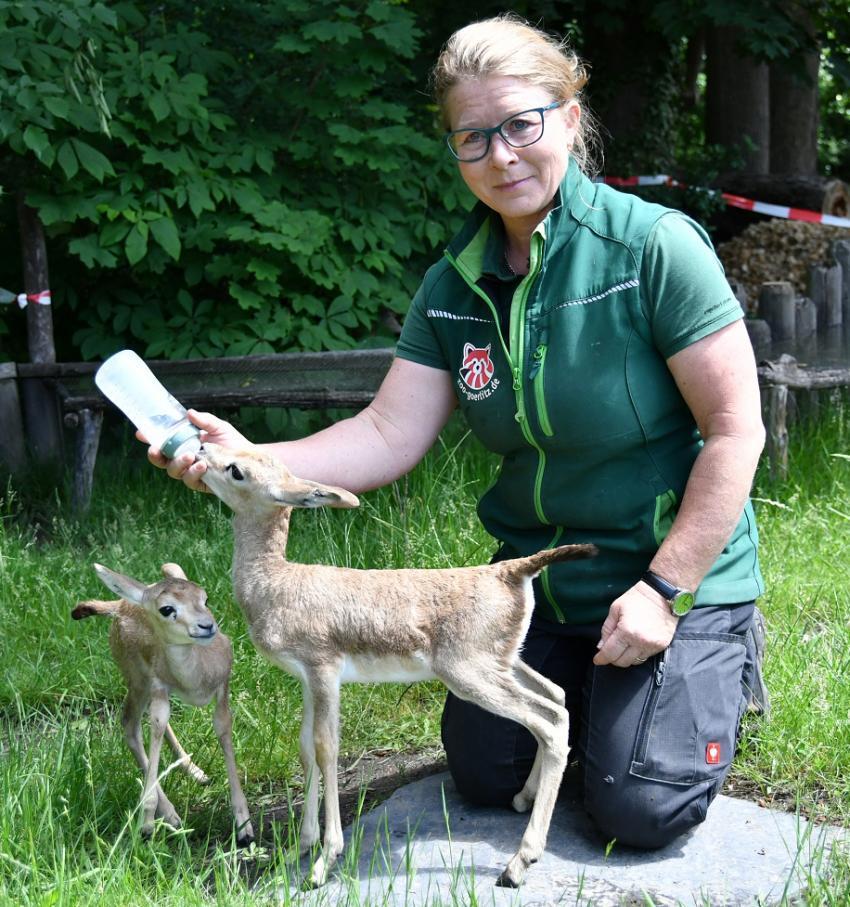 Kurator Catrin Hammer podczas karmienia młodych gazeli butelką / fot. Danilo Dittrich