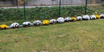 Gminę Zgorzelec przyozdobiły kolorowe chryzantemy - zdjęcie nr 12