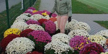 Gminę Zgorzelec przyozdobiły kolorowe chryzantemy - zdjęcie nr 3