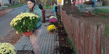 Gminę Zgorzelec przyozdobiły kolorowe chryzantemy - zdjęcie nr 19
