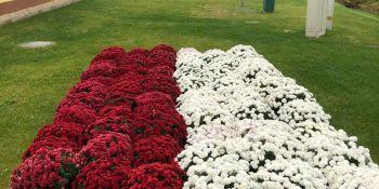 Gminę Zgorzelec przyozdobiły kolorowe chryzantemy - zdjęcie nr 5