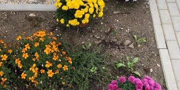 Gminę Zgorzelec przyozdobiły kolorowe chryzantemy - zdjęcie nr 15