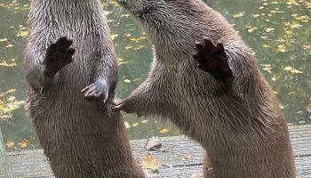 W przypadku wydr Emmy i Yourka liczenie jest dość łatwe …/ fot. zoo-goerlitz.de / C.Hammer