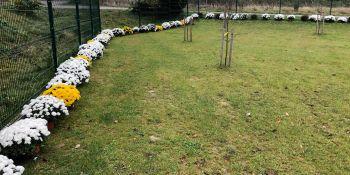 Gminę Zgorzelec przyozdobiły kolorowe chryzantemy - zdjęcie nr 8