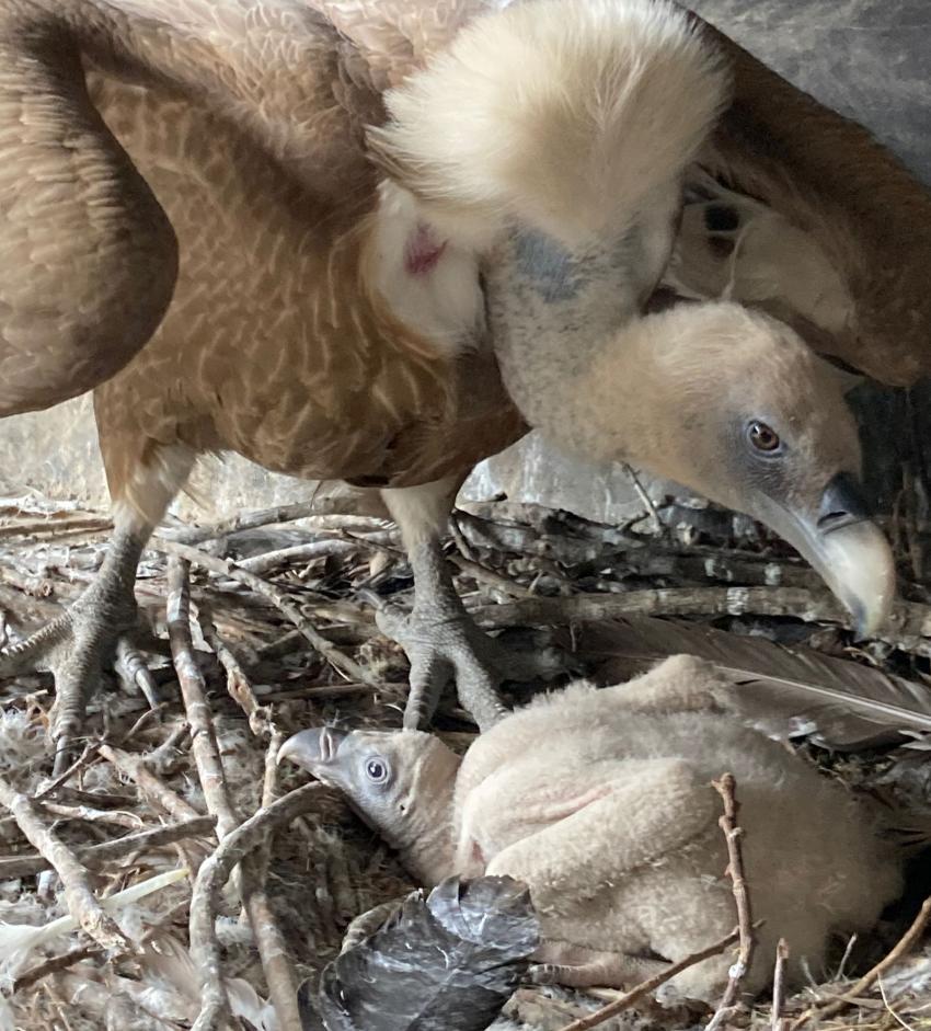 Dobrze chronione - sześciotygodniowe pisklę sępa z rodzicem w gnieździe / fot. www.zoo-goerlitz.de, C. Hammer