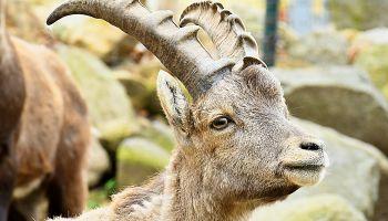 Koziorożec Stefan ze Stuttgartu / fot. www.zoo-goerlitz.de, C. Hammer