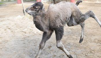 W końcu można odwiedzać młodego wielbłąda - Delega oraz innych mieszkańców Naszego Zoo! / fot. www.zoo-goerlitz.de, C. Hammer