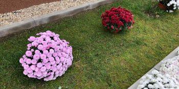 Gminę Zgorzelec przyozdobiły kolorowe chryzantemy - zdjęcie nr 9