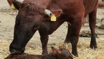 fot. F. Thiel, Krowa czerwona - Gretel z cieliczką Idą