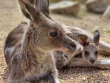 eb1-zawsze-warte-odwiedzenia-potomstwo-olbrzymich-szarych-kangurow-fot-www-zoo-goerlitz-de-a-kolar-8745_160x120