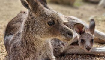 Zawsze warte odwiedzenia - potomstwo olbrzymich szarych kangurów / fot. www.zoo-goerlitz.de, A. Kolar