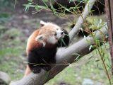 f52-zyjace-nie-tylko-powietrzem-i-miloscia-pandy-czerwone-w-naturschutz-tierpark-gorlitz-zgorzelec-fot-c-hammer-adfd_160x120