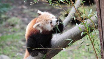 Żyjące nie tylko powietrzem i miłośćią – pandy czerwone w Naturschutz-Tierpark Görlitz-Zgorzelec / fot.  C. Hammer