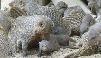 Mangusty / fot. : www.zoo-goerlitz.de, C.Hammer
