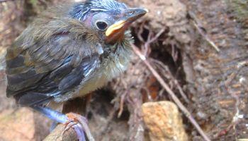 """Sójkowiec żółtobrzuchy """"001"""" chwilę po wyfrunięciu z dziupli lęgowej / fot. www.zoo-goerlitz.de, C. Hammer"""
